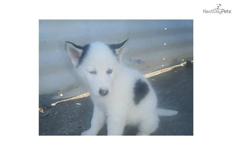 cheri s preferred puppies pomsky puppies in dayton ohio breeds picture