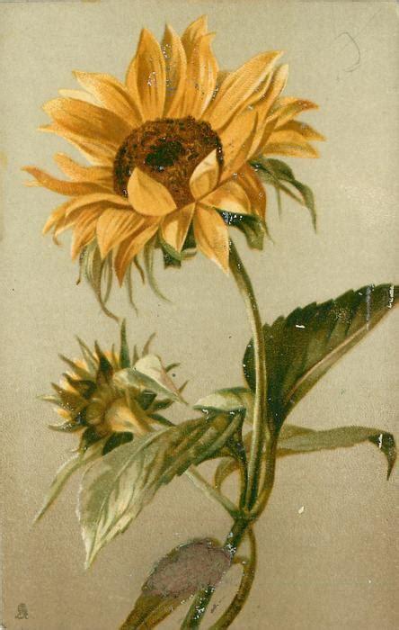 open sunflower  stem curving slight left bud