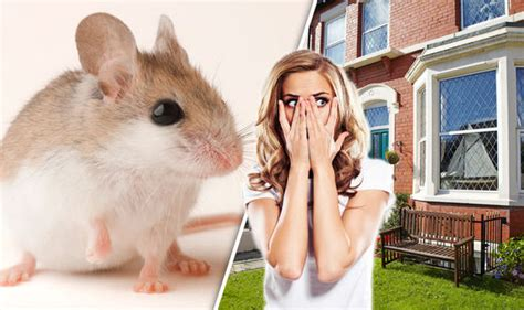 how to get rid of mice in house how to get rid of mice in the house without using traps or poisons property life