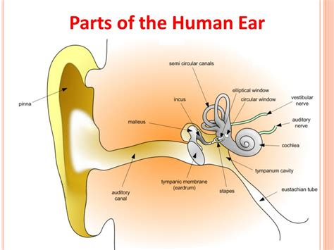 sections of the ear human and robot sensors ppt video online download