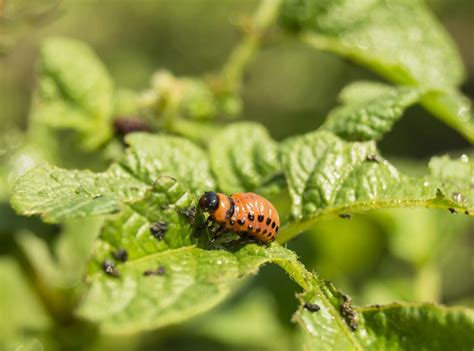 No fail Tips on How to Get Rid of Potato Bugs