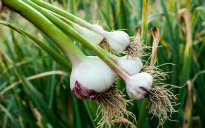 come coltivare l aglio in vaso come coltivare l aglio in vaso o giardino la guida per