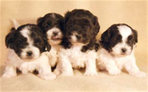 shihpoo puppies for sale shih poo puppies at heavenly puppies we are south florida s favorite place to