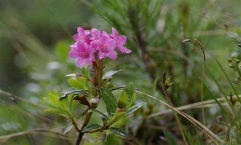 wann schneidet rhododendron wann rhododendron pflanzen wann darf ich rhododendron
