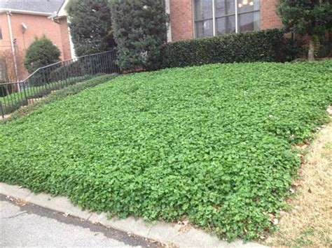 white clover lawn alternative www imgkid the