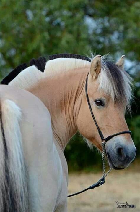 fjord mane designs 17 best images about fjord horses on pinterest portrait