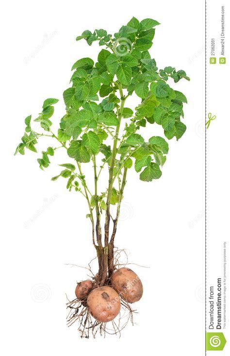 Beschriftung Kartoffelpflanze by Potatisv 228 Xter Fotografering F 246 R Bildbyr 229 Er Bild 27062031