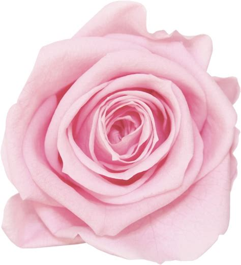meaning of pink meaning of pink roses