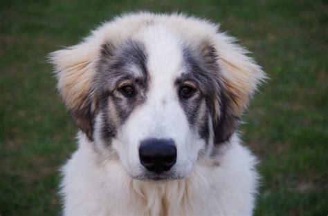canine hemangiosarcoma hemangiosarcoma in dogs a helpful guide canna pet 174
