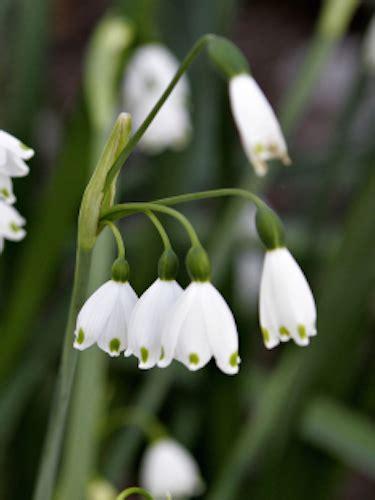 snowdrop bulbs for sale leucojum aestivum gold medal winning harts nursery
