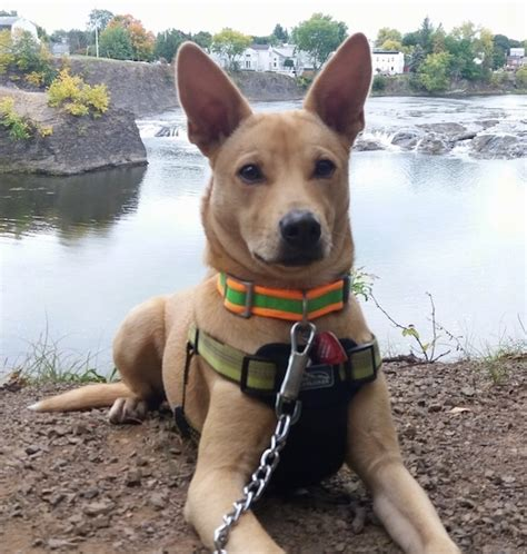 Carolina Dog Breed Information and Pictures
