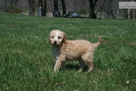 doodle puppies for sale missouri pending sale goldendoodle puppy for sale near springfield