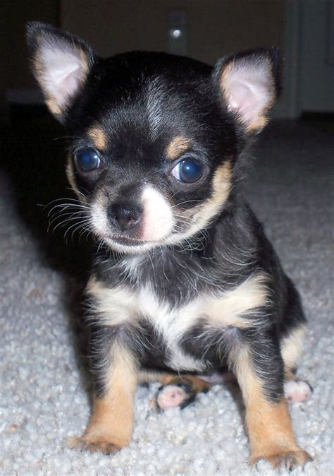 chihuahua puppies ohio chihuahua puppies pictures 9 chiuaua puppies for sale in ohio biological