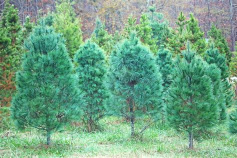 clemson offers tips for keeping your christmas tree