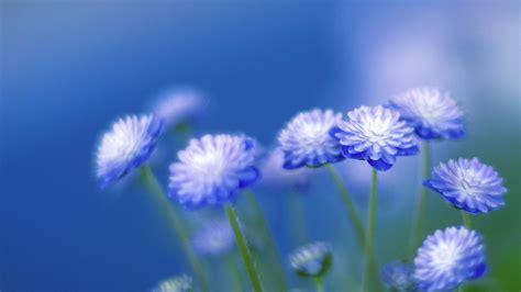 Blue Flowers by Blue Flowers Wallpaper