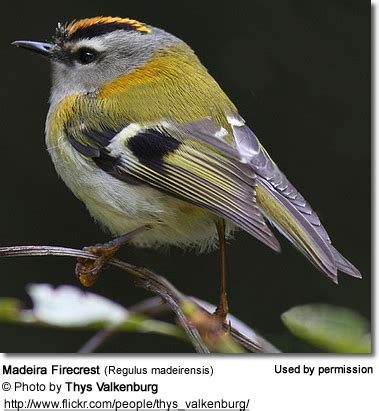 kinglets or crests: small birds with orange or yellow crests