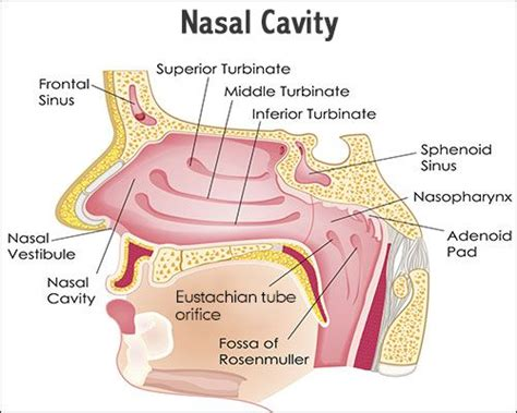 diagram of sinus cavity a study of the functions and anatomy of the human nasal