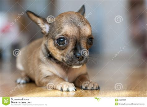 tiny small little red sable chihuahua puppy stock image image 26201147