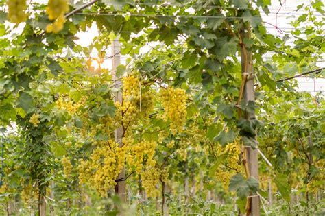 uva da tavola puglia uva da tavola italiana puglia