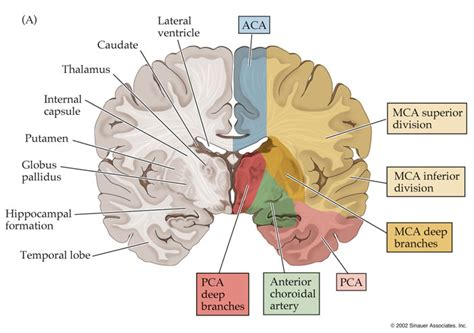 brain blood supply diagram โครงสร างสมอง