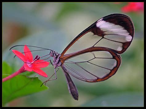 imagenes mariposas de cristal greta oto la farfalla dalle ali trasparenti