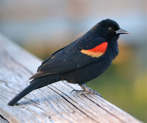 backyard birds of indiana red winged blackbird indiana audubon society