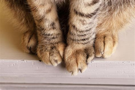 swollen paw on what to do if your cat s paw is swollen