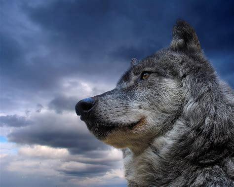 wallpaper hd wolf black wolf fresh hd desktop wallpapers 2013 beautiful