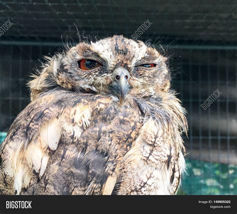 Sleepy Owl sleepy owl one eye open image photo bigstock