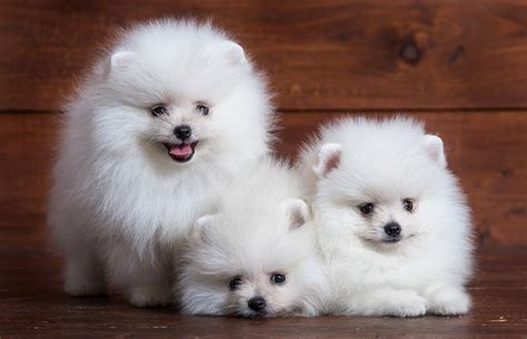 white pomeranian puppies for free white pomeranian puppies wallpaper hd wallpaper appraw