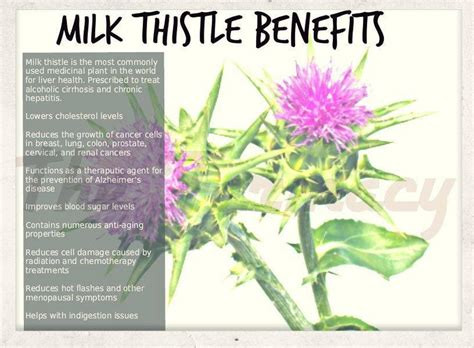 How Should I Take Milk Thistle To Detox Liver by Milk Thistle Are You Ready For A Change