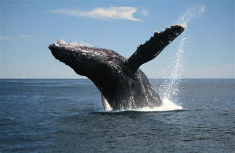 when is whale season in cape cod whales seals sharks you ve got to see it to believe it