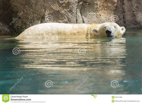 up of a polarbear in capticity royalty free stock photo image 26411965