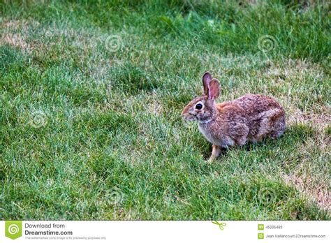 backyard rabbit rabbit in the yard stock photo image 45205483