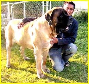 English bull mastiff full grown large dog breed information