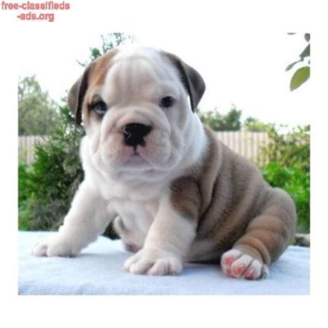 bulldog puppies for sale in alabama 185 best images about usa classifieds on adoption siberian husky puppies