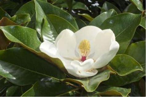 imagenes de magnolias blancas parques y jard 237 nes