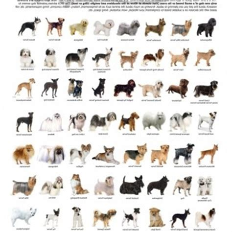 large breeds list breeds terrier list of large and pictures litle pups
