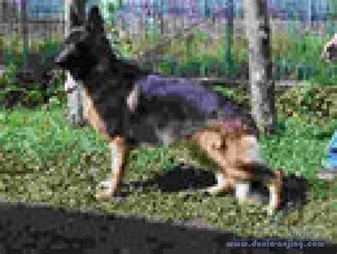 Jual Afkir Murah dunia anjing jual anjing german shepherd jl ankn