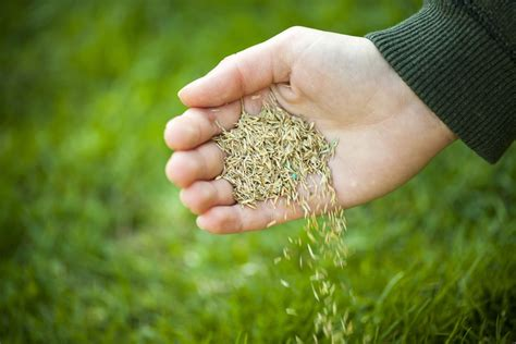 how to sow grass seed complete guide bury hill topsoil blog