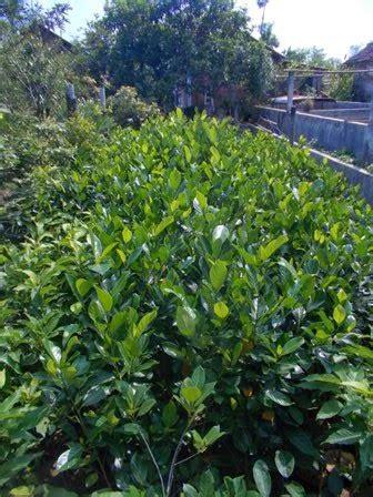 Bibit Rambutan Jombang bibit nangka madu jual bibit tanaman buah hias hutan