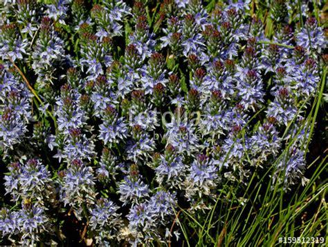 tappeto di fiori quot tappeto di fiori celesti prostrata quot stock