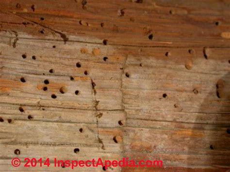 powder post beetles house borers structural damage