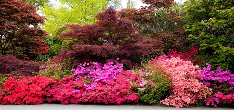 the all inclusive guide to blooming azaleas fast growing trees com blog