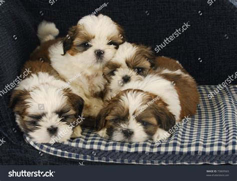 how to a shih tzu to lay litter of puppies four shih tzu puppies laying on