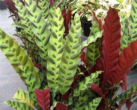 Calathea Lancifolia Insignis Rattlesnake Plant gardensonline calathea insignis syn calathea lancifolia