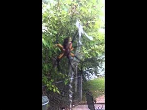 Garden Spider Vs Banana Spider Banana Spider Vs Black Widow