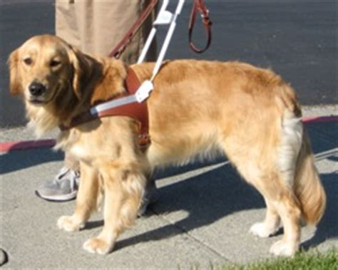 norcal golden retriever breeders suzanne bria finnegan s service norcal golden retriever club