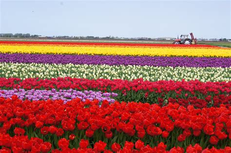 Beautiful Flower Images Tulip Fields Tulips Field Flower Flowers Wallpaper