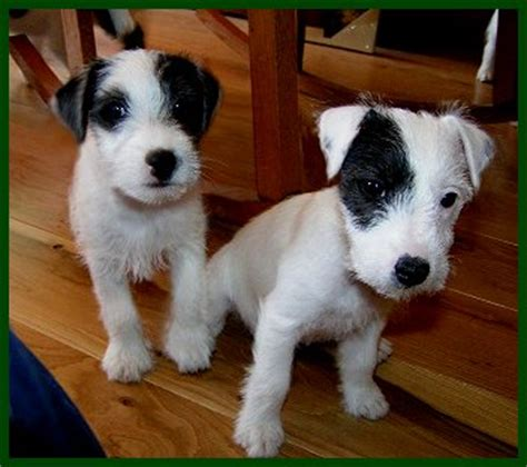 parson terrier puppies for sale image gallery terrier puppies
